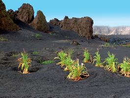Maîs planté sur des cendres volcaniques, île de Fogo