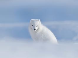 Renard polaire - Svalbard