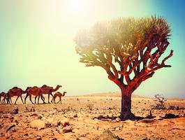 Arbre de Dragon, Abou Dabi - Emirats arabes unis