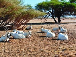 Arabian Wildlife Park, Sir Bani Yas Island - Emirats arabes unis