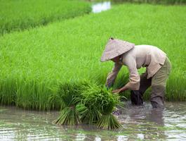 Rizières, Vietnam