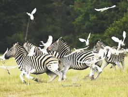 Zèbres, réserve de Pumba (Afrique du Sud)