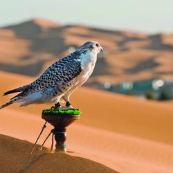 Faucon dans le désert, Abou Dabi - Emirats arabes unis