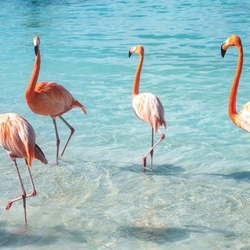 Flamants roses - Tortola