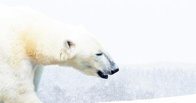 Les ours polaires : où et comment les observer ?