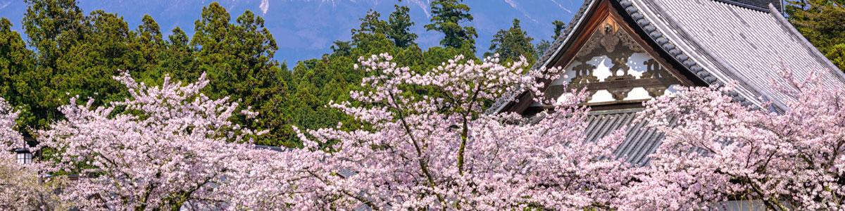 Cerisiers en fleurs au Japon : profitez du spectacle en 2020