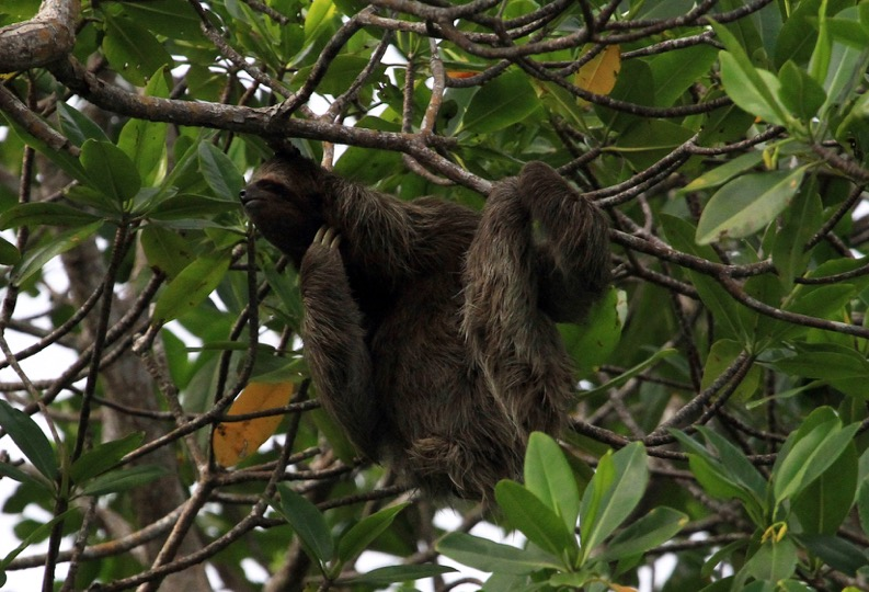 Les paresseux du Costa Rica