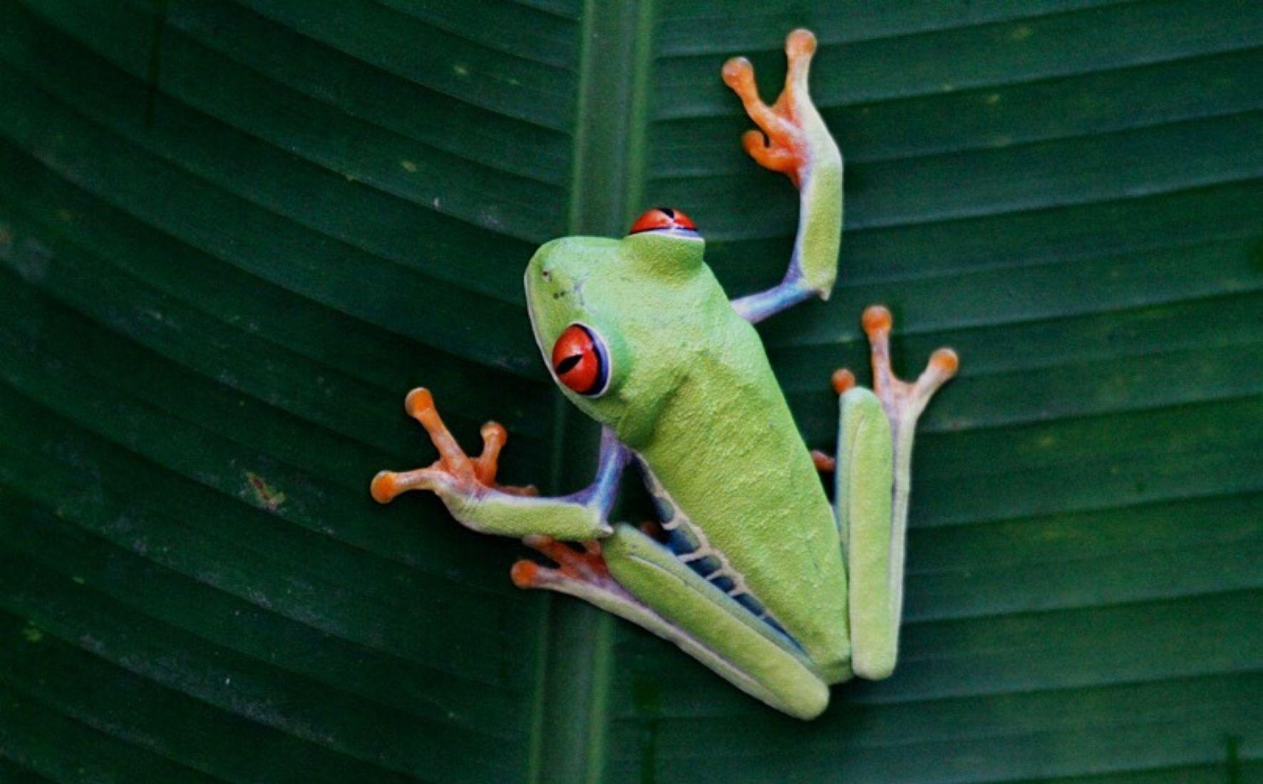 La rainette aux yeux rouges du Costa Rica