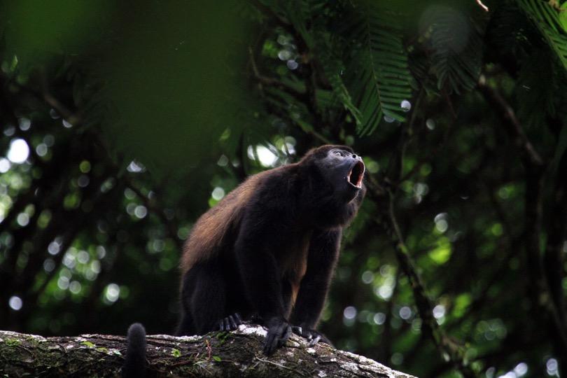 Le singe hurleur du Costa Rica