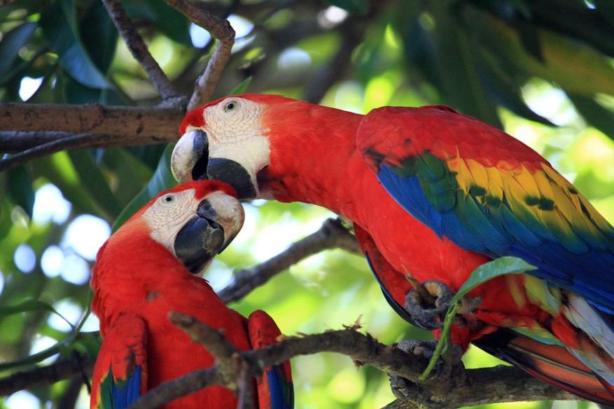 Perroquets du Costa Rica