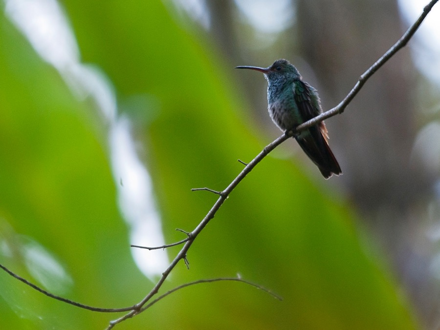 Colibris du Costa Rica